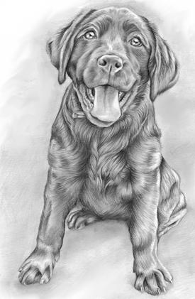 Graphite pencil labrador puppy portrait birthday gift | pet portraits artist
