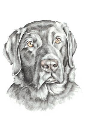 Black Labrador colour pencil head and shoulder pet portrait   picky pencil artist