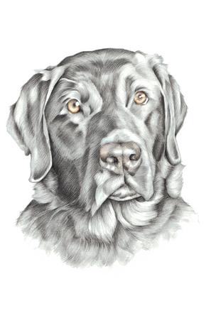 Black Labrador colour pencil head and shoulder pet portrait | picky pencil artist