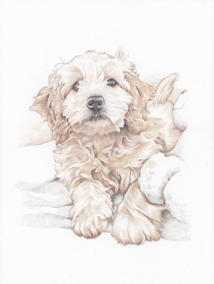 Photo realistic cock-a-poo puppy portrait | Picky Pencil