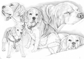 black and white beagle drawing collage of poses   picky pencil pet portraits