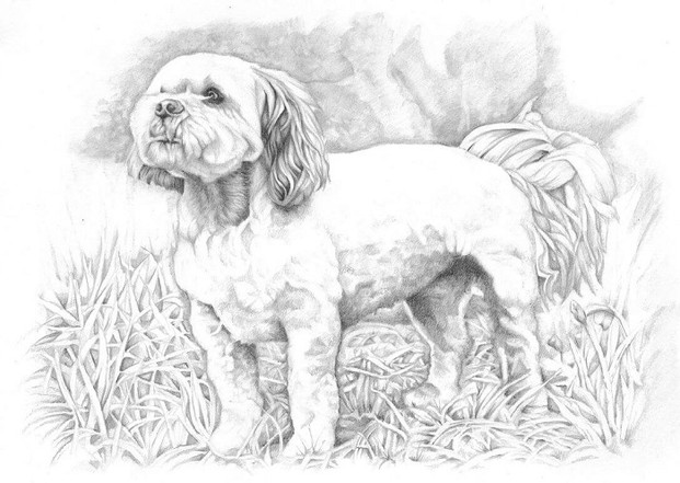 Graphite realistic pencil portrait full body lhasa apso new hair cut drawing | picky pencil pet portrait artist