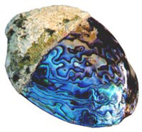 2076 Paua shell earring