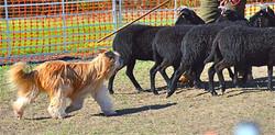 Celeste Herding Clinic
