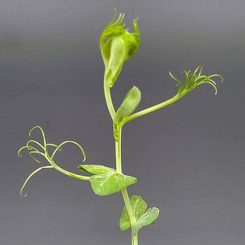 Peashoot Microgreen