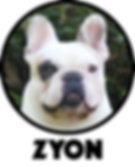 mahalley bull, bulldog frances, bulldogue frances, french bulldog, bulldog, canil