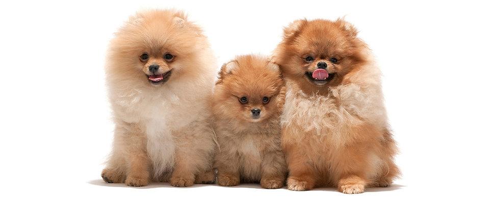 acapulco, canil, filhotes, criador, shihtzu, maltes, yorkshire terrier, spitz alemao, lulu da pomerania, york