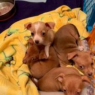 4- Female chi pups