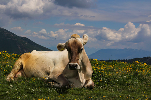 The Noble cow