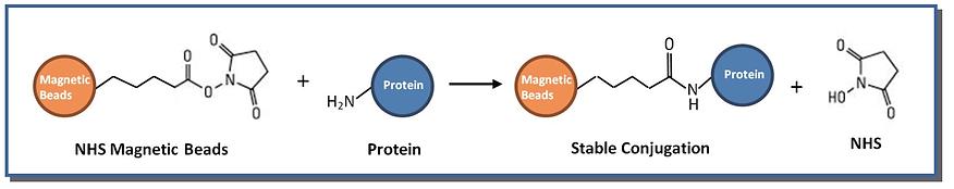 Mechanism of NHS bead reaction.png