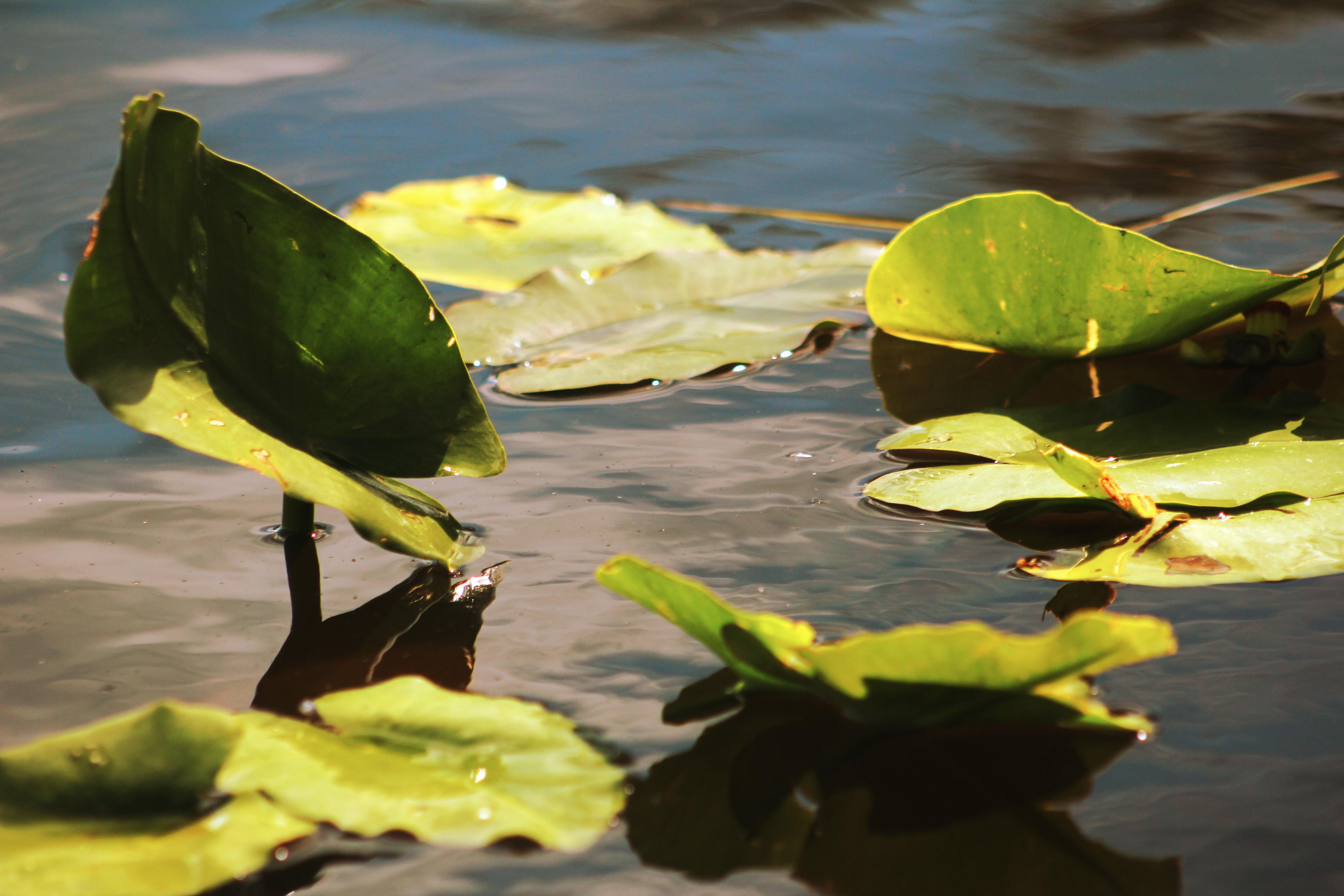 River Lily, FL