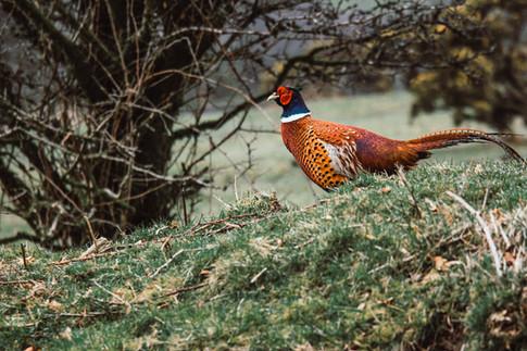 Exmoor Pheasant