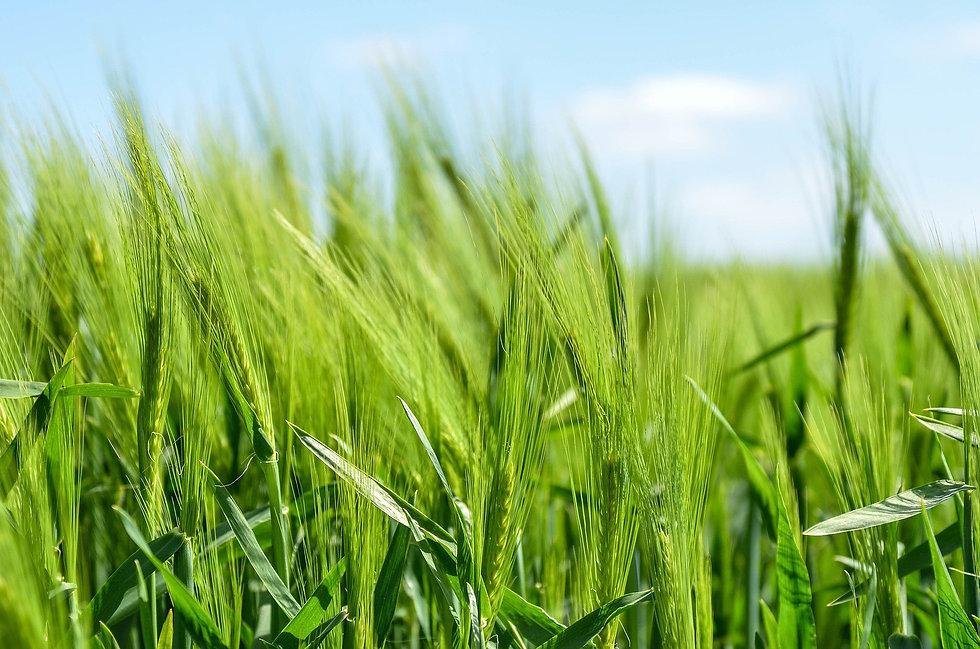 barley-872000_1920.jpg