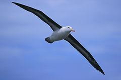 Albatross Pic #1.jpg