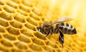 How do Bee's make Wax?