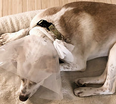 Pet Injury GABBY