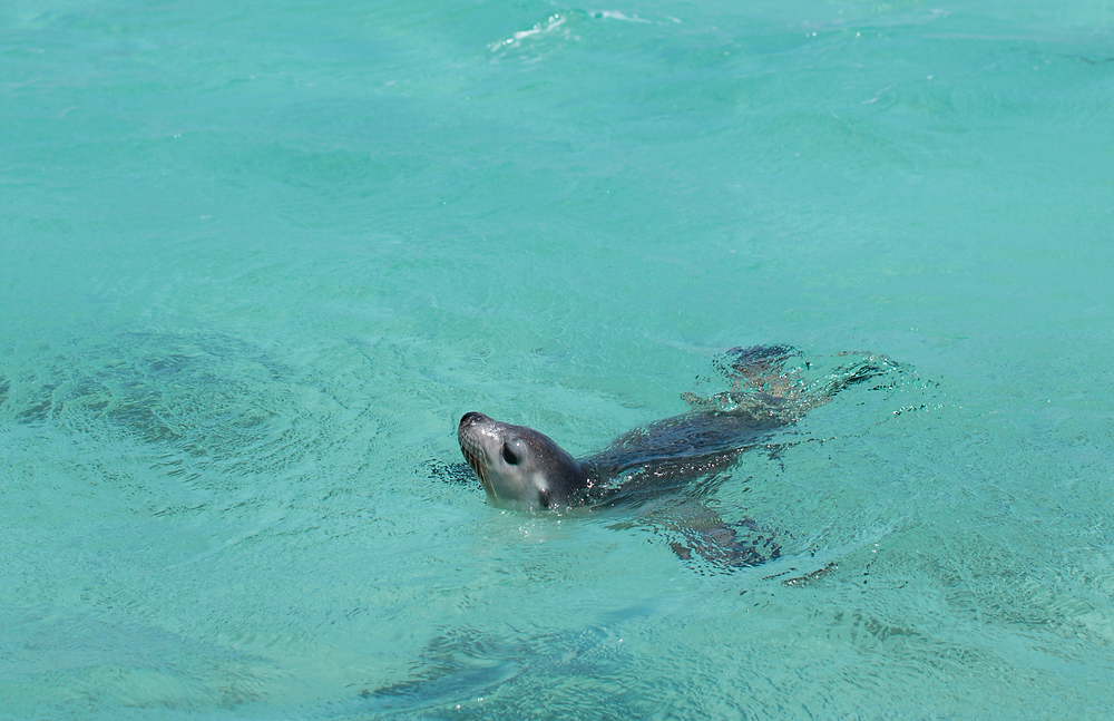 Sea lion saying hello- Western Australia