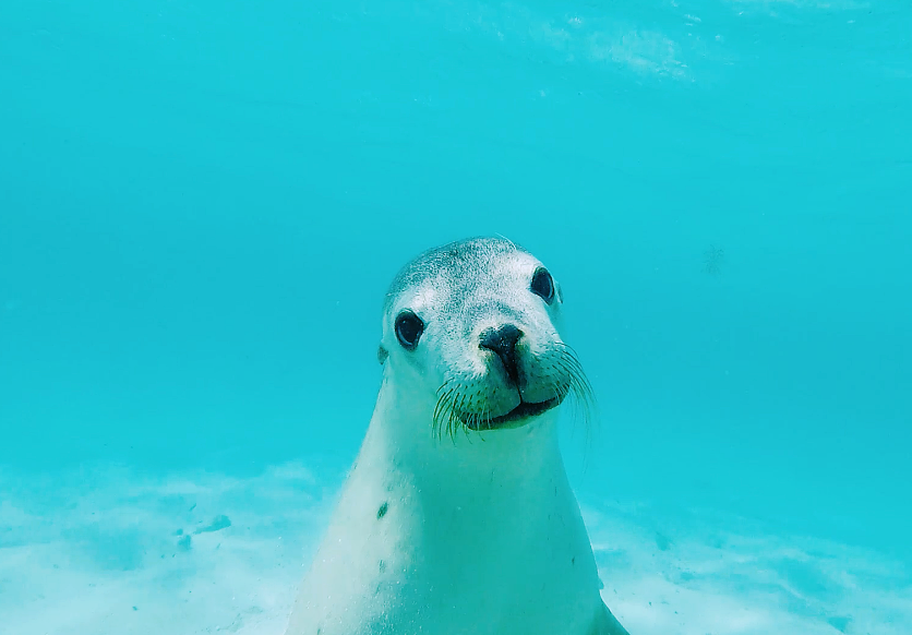 Australian Sea Lion (GoPro Screen Shot)
