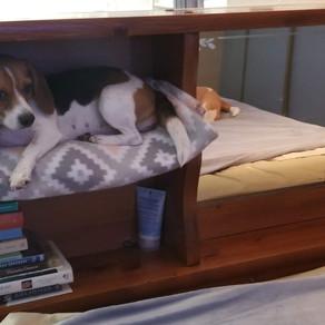 Olde English Pocket Beagles