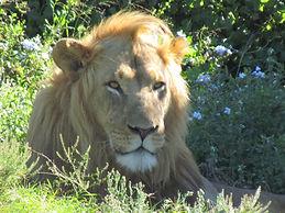 Addo Elephant Lion