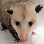 Virginia Opossum - Bones.jpg