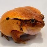 Tomato Frog - BLT.jpg
