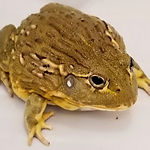 Pixie Bullfrog - Big Mack.jpg
