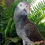 African Grey Parrot- Jobu.jpg