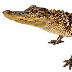 American%20Alligator_edited.png