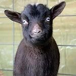 African Pygmy Goat - Bowie.jpg