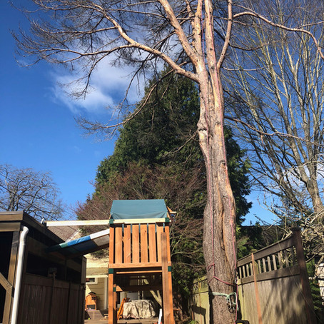The Pine Over the Playset