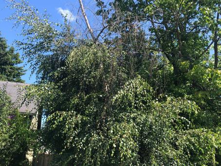 Bronze Birch Borer & Tree Management