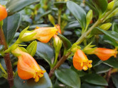 Goldfish Plant.JPG