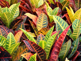 Croton 2.JPG