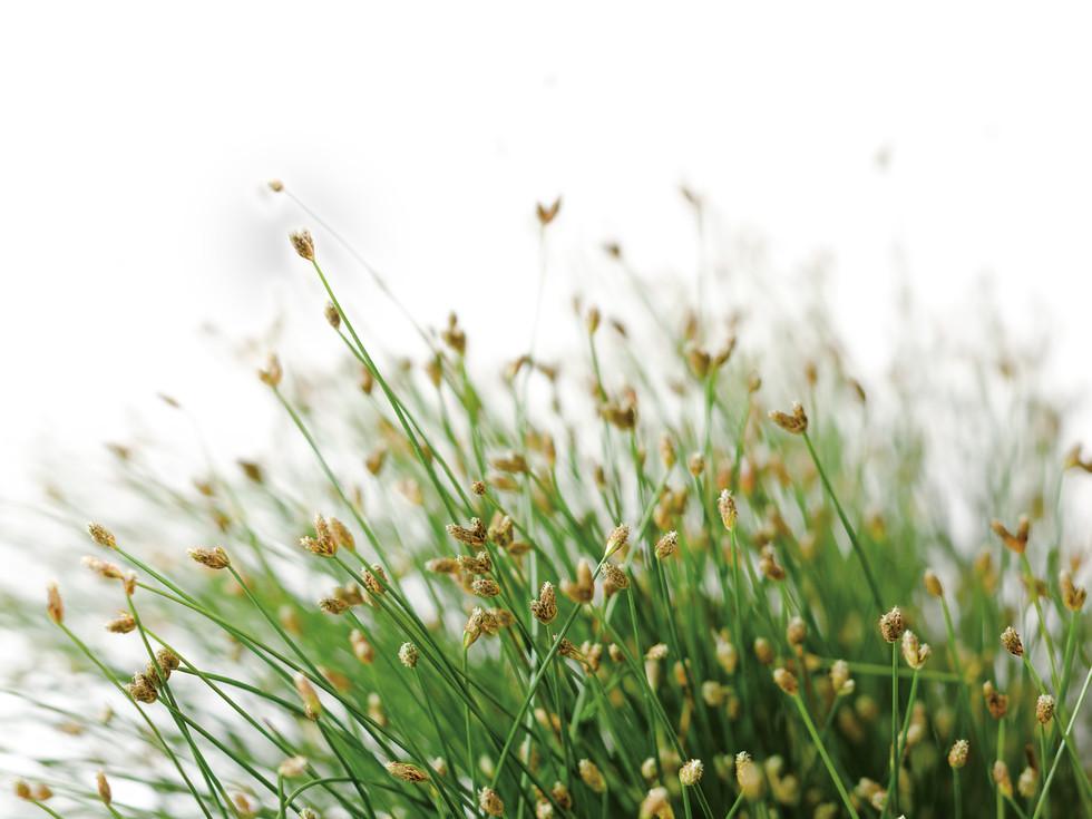 Fiber Optic Grass by Proven Winners
