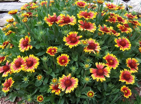 Top Perennial Choices for Heat and Drought