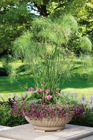 King Tut Grass by Proven Winners