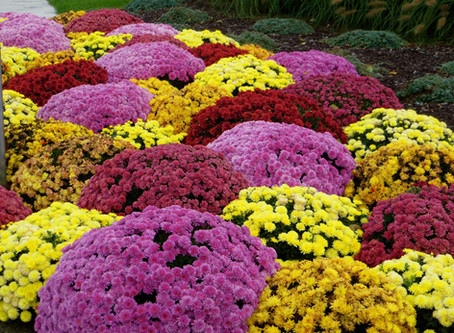Annuals for Beautiful Fall Color