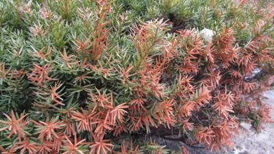 Steps to Prevent Winter Burn on Evergreen Trees and Shrubs