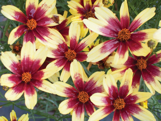 Coreopsis Red Chiffon by Walters Gardens