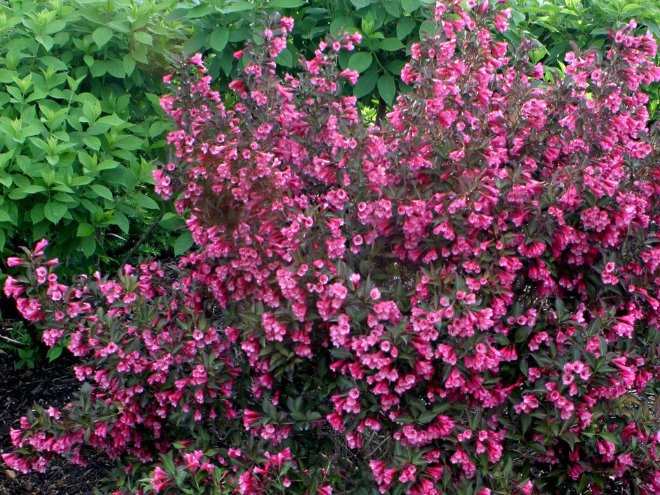 Wine and Roses Weigela by Proven Winners