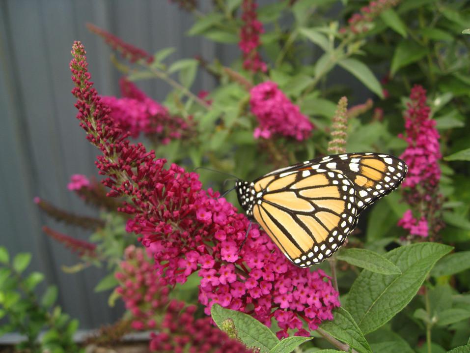 Miss Molly Butterfly Bush by Proven Winners