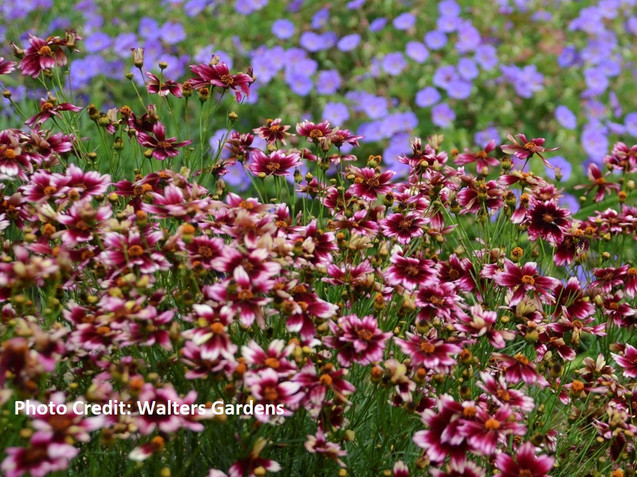 Coreopsis Berry Chiffon by Walters Gardens
