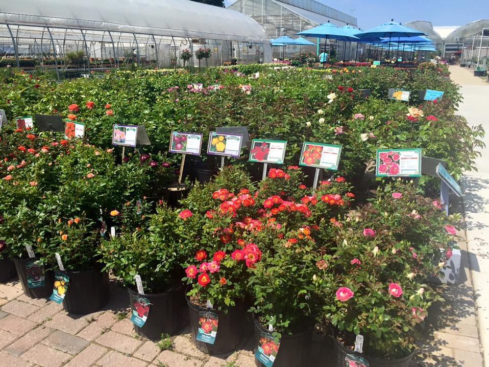 Roses at Riverside