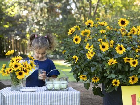 SunBelievable™: A Sunflower for the 21st Century