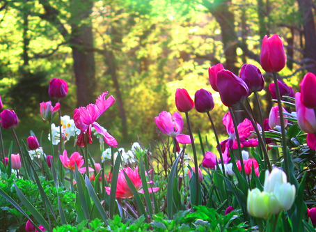 Spring Bulbs: Plant Now for Early Spring Color!