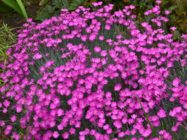 Dianthus Firewitch by Walters Gardens