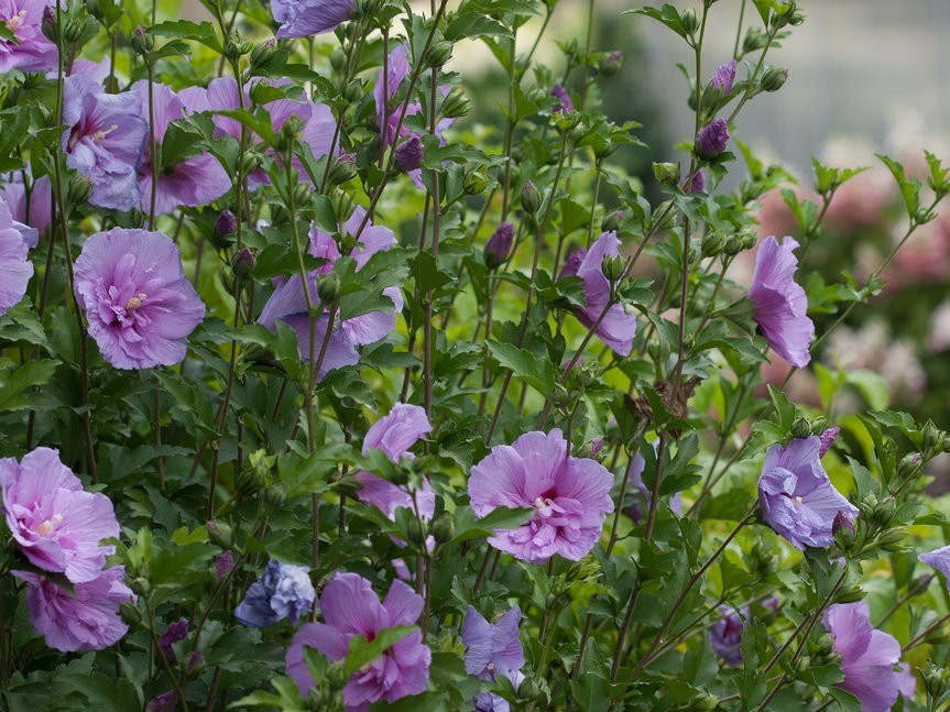 Rose Of Sharon Lavender Chiffon by Proven Winners