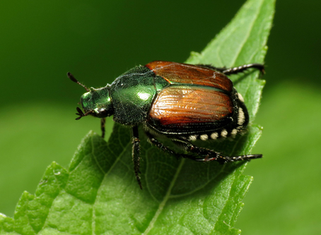 Japanese Beetles: Strategies for Prevention and Control