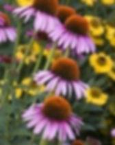 Ruby Star Corneflower.jpg